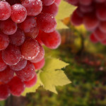 red_grapes_bunch-1600